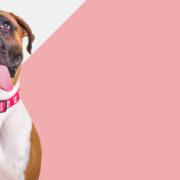 coleira-zee-dog-pink-skull2