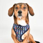Peitoral Puppia Miffy Azul cão